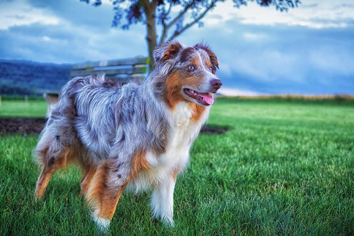 Buddy, Weight: 180 pound, Australian Shepherd
