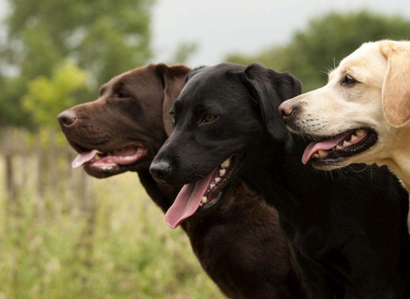 Samson, Weight 187 pounds, Labrador
